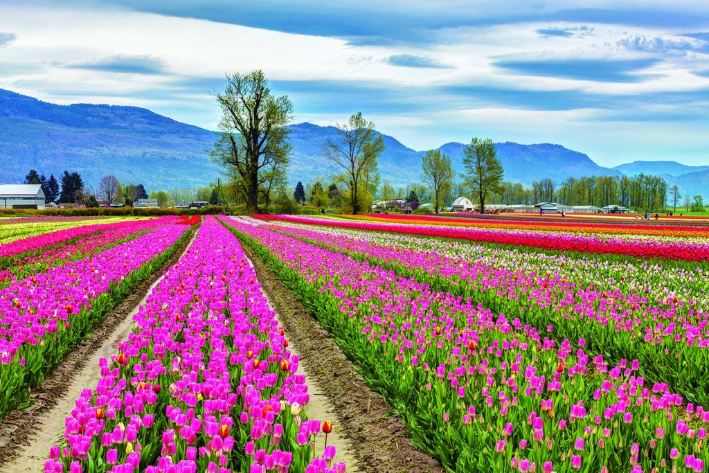 Image of tulips in Chilliwack