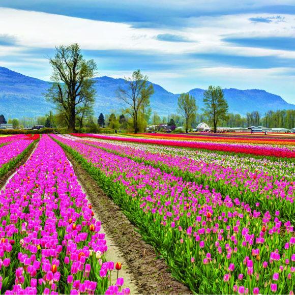 Tulip Festival in Chilliwack